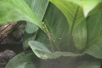 """At the Paris Zoo. """"It's a STICKBUG!"""" Actually a horsehead grasshopper-- don't tell the expert."""